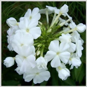 Fluffy Phlox wit