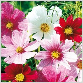 Cosy Cosmea roze/rood/wit mix